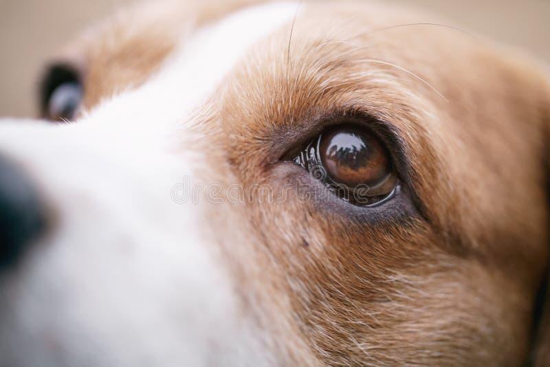 Πορτρέτο κινηματογραφήσεων σε πρώτο πλάνο του σκυλιού λαγωνικών tricolor στοκ φωτογραφία