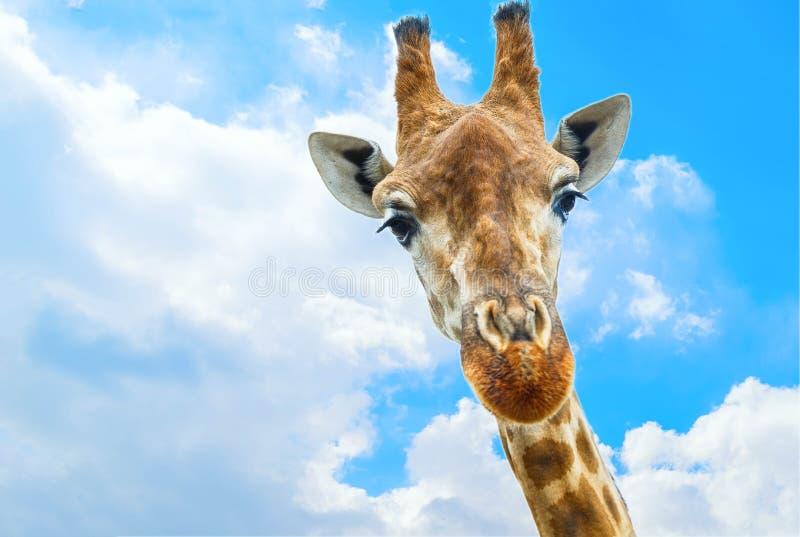 Πορτρέτο κινηματογραφήσεων σε πρώτο πλάνο giraffe πέρα από το μπλε ουρανό με τα άσπρα σύννεφα στοκ εικόνες