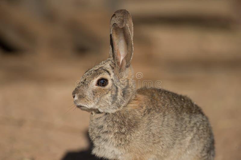 Πορτρέτο κουνελιών ερήμων στοκ φωτογραφία με δικαίωμα ελεύθερης χρήσης