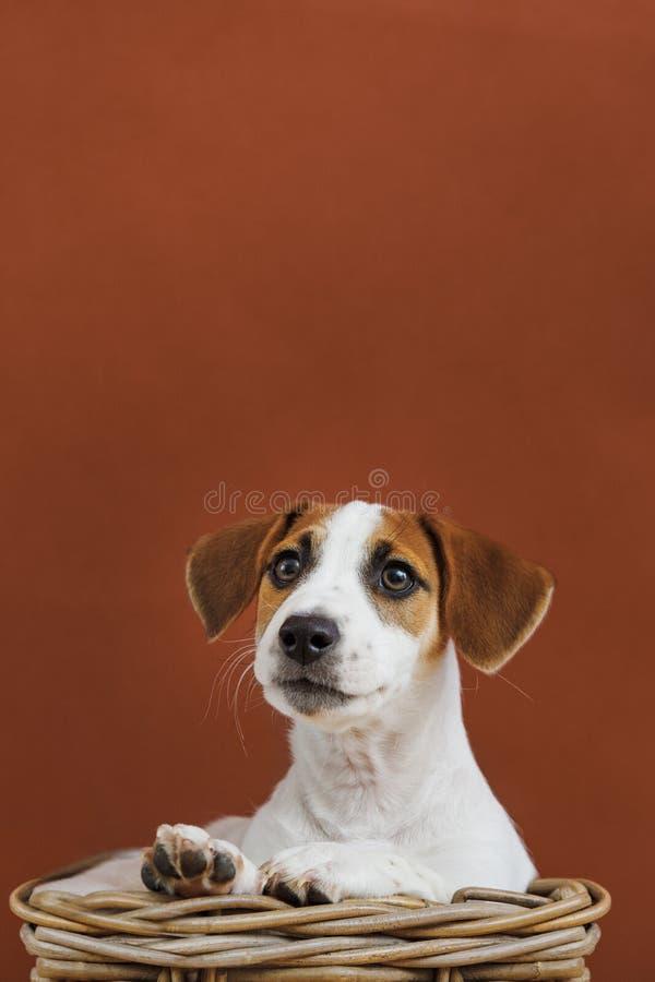 Πορτρέτο κουταβιών τεριέ του Jack Russell στοκ φωτογραφία με δικαίωμα ελεύθερης χρήσης