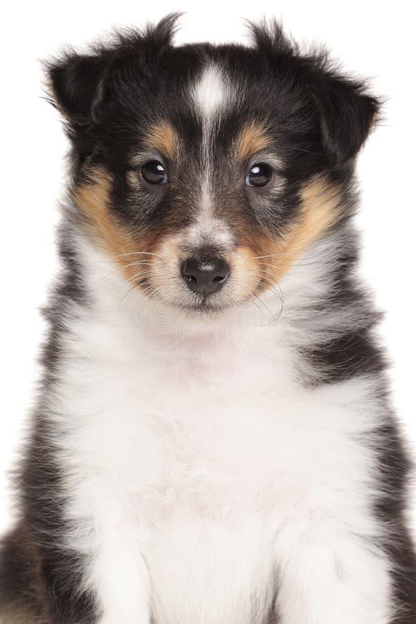 Πορτρέτο κουταβιών τσοπανόσκυλων Shetland στοκ εικόνες