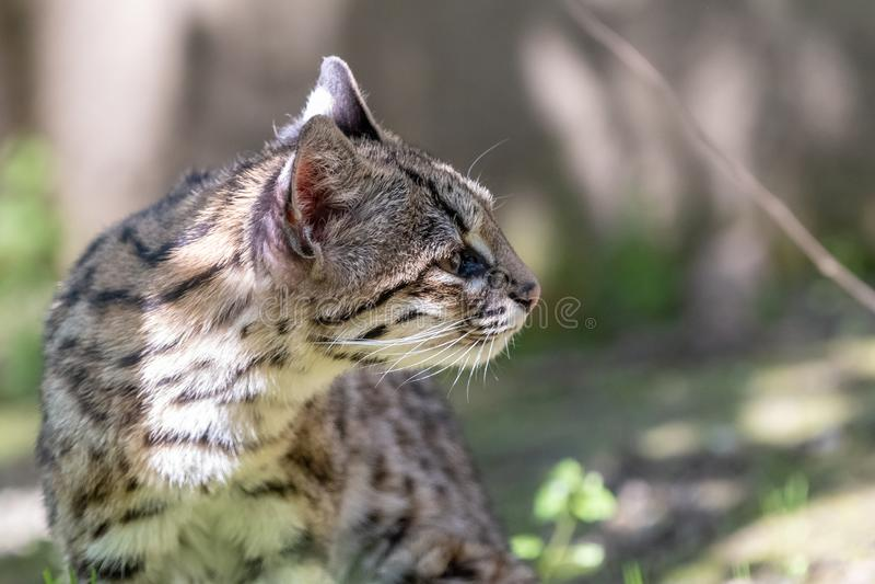 Πορτρέτο λίγου επισημασμένου oncilla γατών στοκ εικόνες
