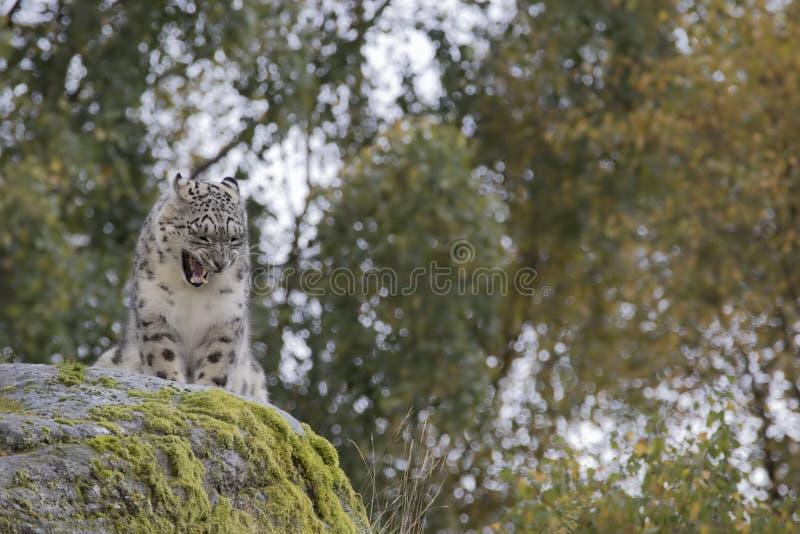 Πορτρέτο λεοπαρδάλεων χιονιού στοκ φωτογραφία με δικαίωμα ελεύθερης χρήσης