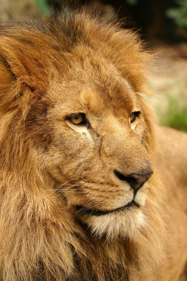 Download πορτρέτο λιονταριών στοκ εικόνες. εικόνα από επικίνδυνος - 1546754
