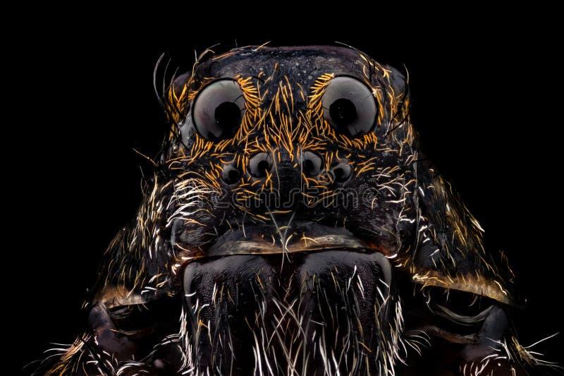 Πορτρέτο μιας αράχνης λύκων στοκ εικόνες