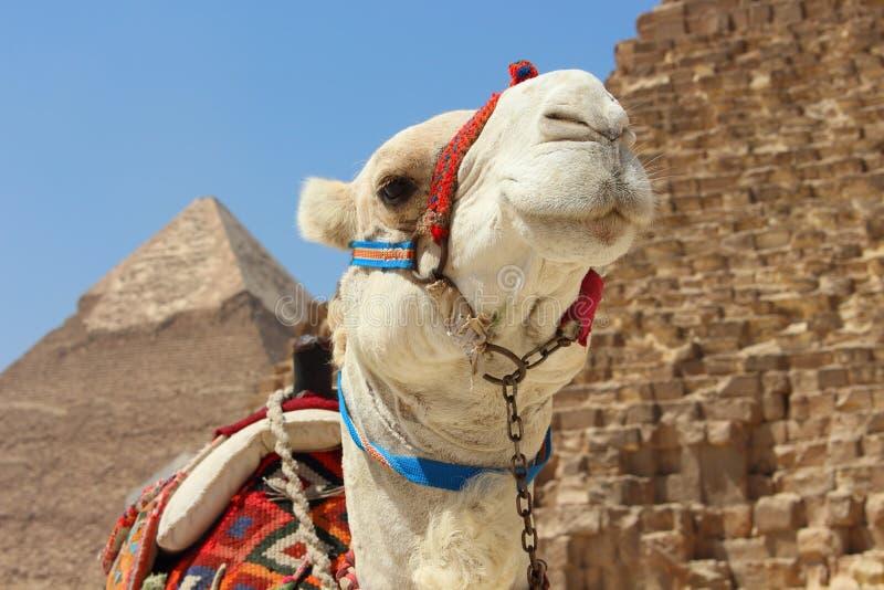 Πορτρέτο μιας αφρικανικής καμήλας με τις πυραμίδες Giza στο μαλακό υπόβαθρο στοκ φωτογραφία