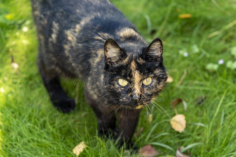 Πορτρέτο μιας γάτας που περπατά μέσω της πράσινης γάτας βαμβακερού υφάσματος χλόης που κοιτάζει με ένα έκπληκτο βλέμμα στο φακό στοκ φωτογραφία με δικαίωμα ελεύθερης χρήσης