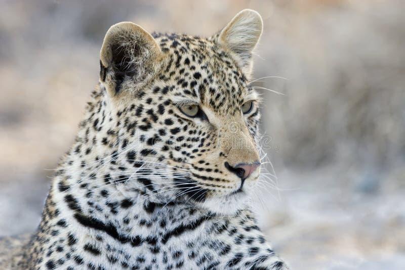 Πορτρέτο μιας λεοπάρδαλης στο εθνικό πάρκο Kruger στοκ φωτογραφίες