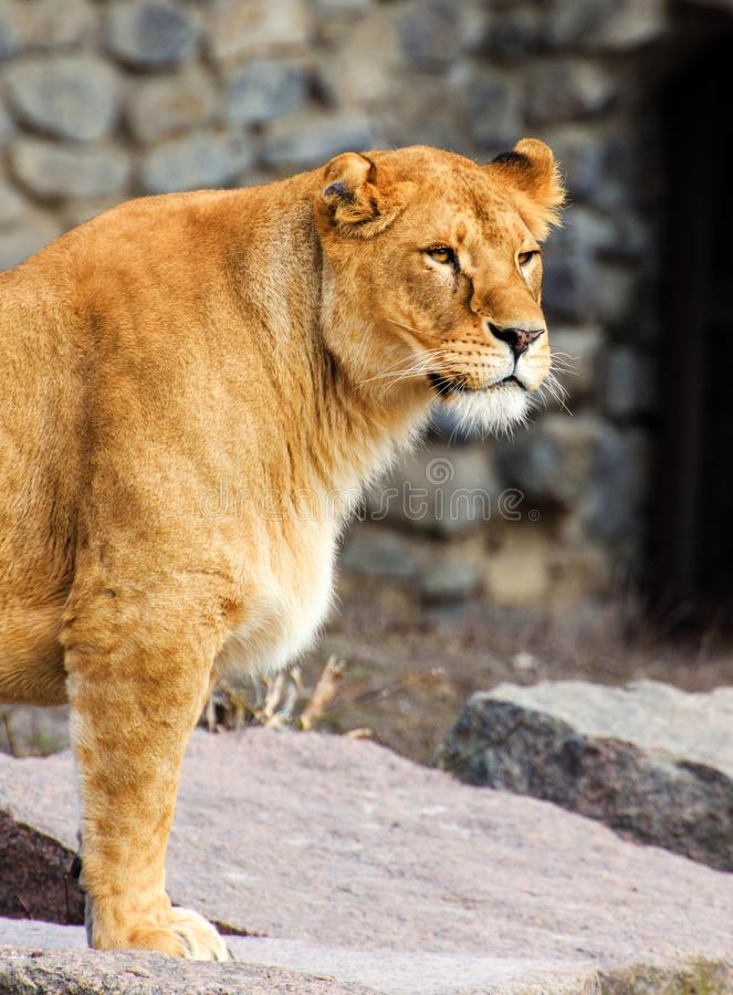 Πορτρέτο μιας λιονταρίνας στοκ εικόνες με δικαίωμα ελεύθερης χρήσης