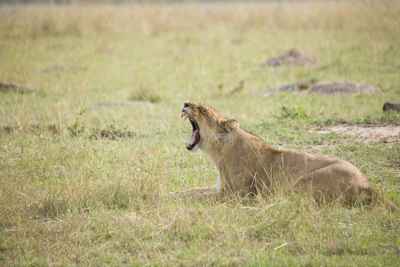Πορτρέτο μιας λιονταρίνας με στοματικό ευρύ ανοικτό στη χλόη σε ένα πάρκο στην Αφρική στοκ φωτογραφίες
