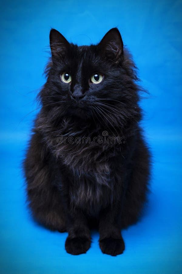 Πορτρέτο μιας μαύρης γάτας με ένα μπλε υπόβαθρο στοκ φωτογραφίες με δικαίωμα ελεύθερης χρήσης