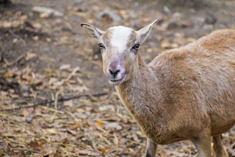 Πορτρέτο μιας νέας προβατίνας mouflon στοκ εικόνες