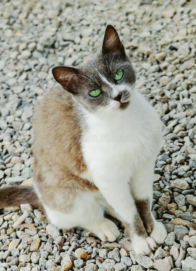 Πορτρέτο μιας περιπλανώμενης γάτας που ζητά τα τρόφιμα και την προσοχή στοκ εικόνες με δικαίωμα ελεύθερης χρήσης