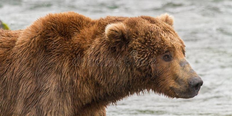 Πορτρέτο μιας σταχτιάς αρκούδας στο εθνικό πάρκο Katmai, Αλάσκα στοκ εικόνες με δικαίωμα ελεύθερης χρήσης