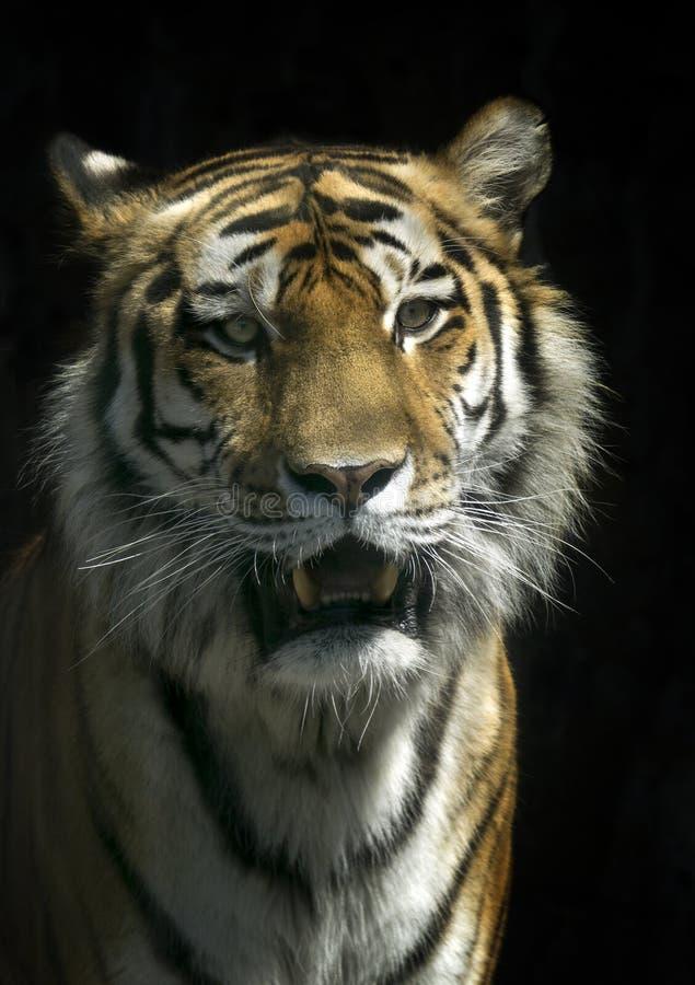 Πορτρέτο μιας τίγρης σε ένα απομονωμένο μαύρο υπόβαθρο στοκ φωτογραφία