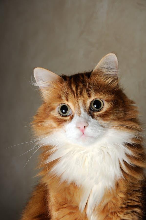 Πορτρέτο μιας χνουδωτής κοκκινομάλλους γάτας στοκ φωτογραφία με δικαίωμα ελεύθερης χρήσης