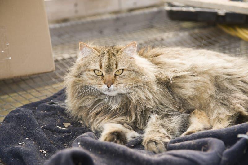 Πορτρέτο μιας όμορφης καφετιάς χνουδωτής σιβηρικής γάτας στοκ εικόνες