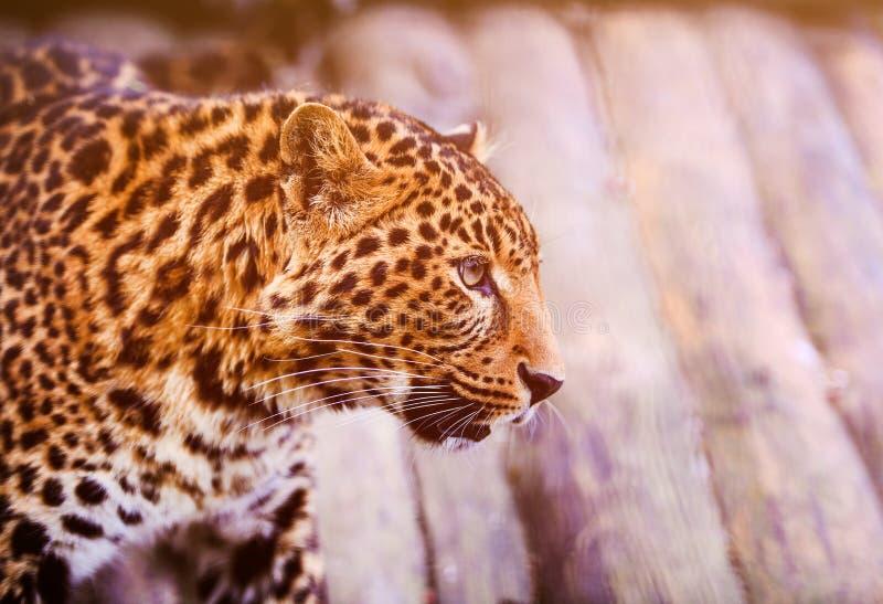 Πορτρέτο μιας όμορφης λεοπάρδαλης λεοπάρδαληη στοκ εικόνες