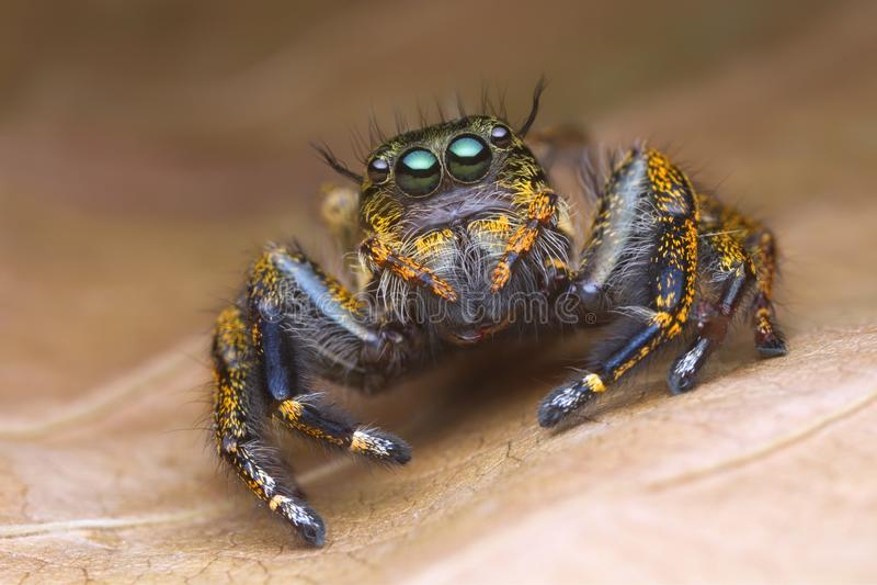 Πορτρέτο μπροστινής άποψης με τις ακραίες ενισχυμένες λεπτομέρειες της ζωηρόχρωμης αράχνης άλματος με το καφετί υπόβαθρο φύλλων στοκ εικόνα