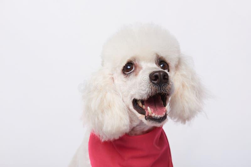 Πορτρέτο να ανατρέξει άσπρο poodle στοκ εικόνες