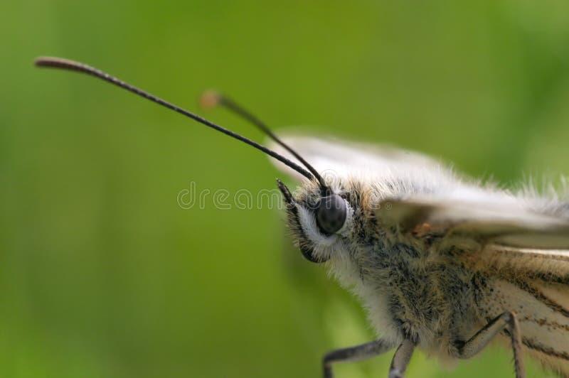 Download πορτρέτο πεταλούδων στοκ εικόνες. εικόνα από άνοιξη, σκώρος - 1530386