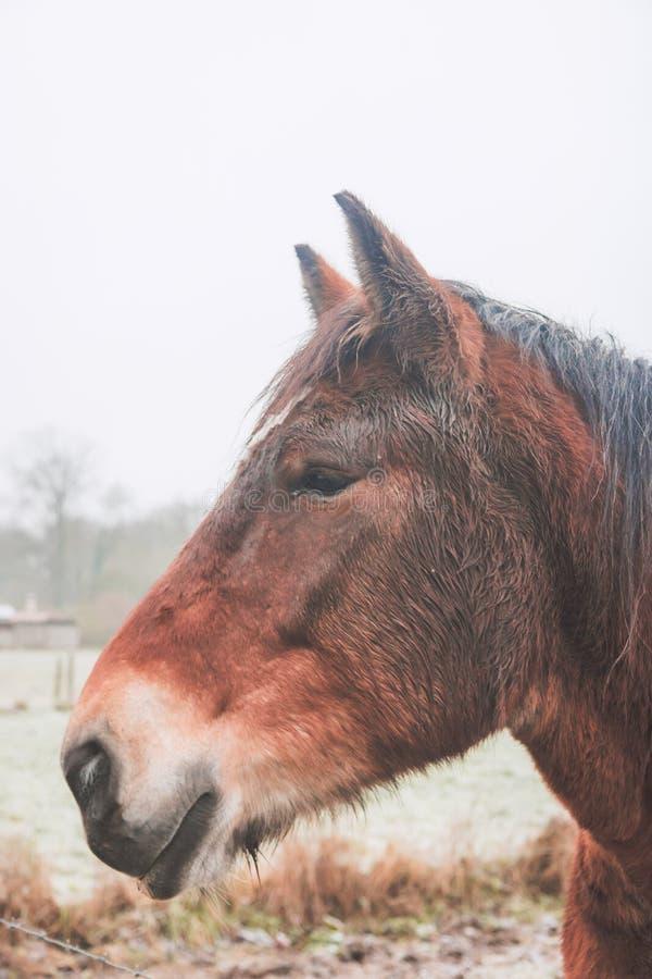 Πορτρέτο πλάγιας όψης του αλόγου στοκ εικόνες