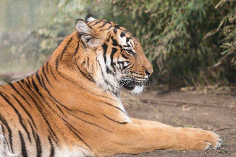 Πορτρέτο που βρίσκεται της Malayan τίγρης με το θολωμένο πράσινο υπόβαθρο στοκ φωτογραφία