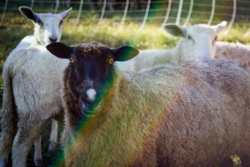 Πορτρέτο προβάτων στο αγρόκτημα του Βερμόντ στοκ εικόνες