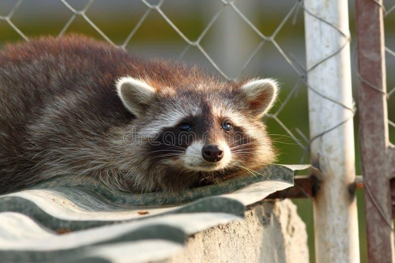 Πορτρέτο ρακούν στο ζωολογικό κήπο στοκ εικόνα με δικαίωμα ελεύθερης χρήσης