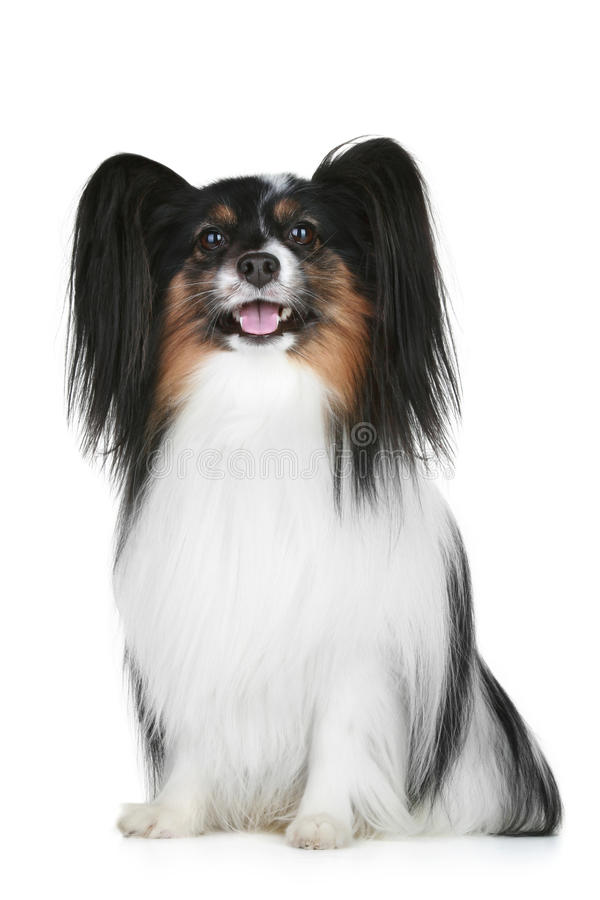 πορτρέτο σκυλιών διασταύ&rh στοκ φωτογραφία