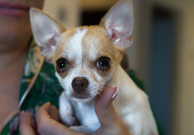 πορτρέτο σκυλιών μικρό Σκυλί Chihuahua σε ετοιμότητα famale στοκ φωτογραφίες με δικαίωμα ελεύθερης χρήσης
