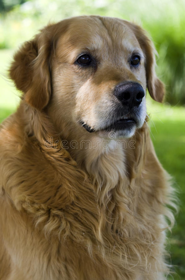 πορτρέτο σκυλιών στοκ φωτογραφίες