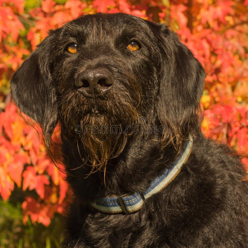 Πορτρέτο σκυλιών Labradoodle στοκ εικόνα με δικαίωμα ελεύθερης χρήσης