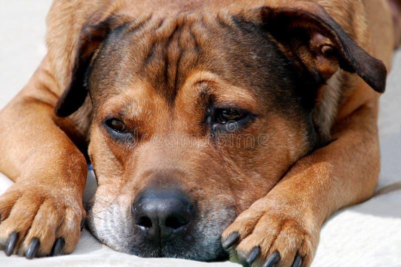 πορτρέτο σκυλιών pitbull στοκ εικόνα με δικαίωμα ελεύθερης χρήσης