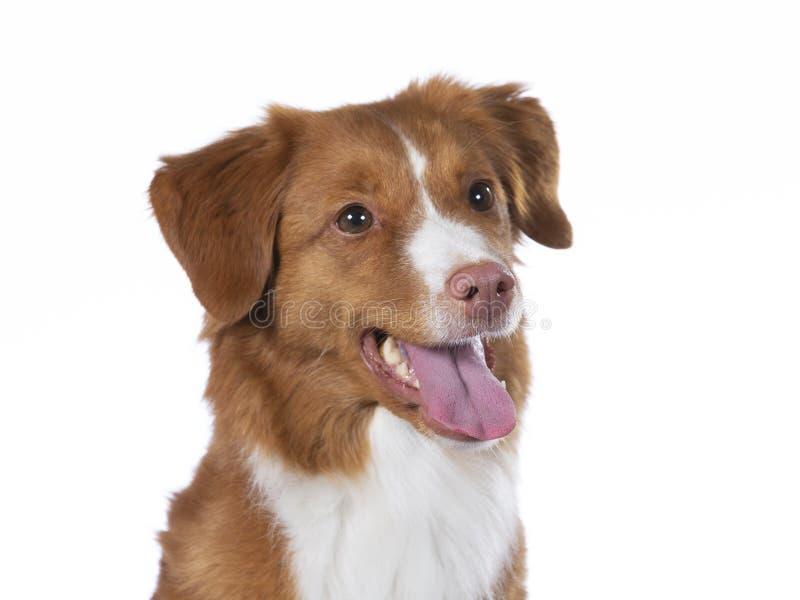 Πορτρέτο σκυλιών Toller σε ένα στούντιο με το άσπρο υπόβαθρο στοκ φωτογραφία