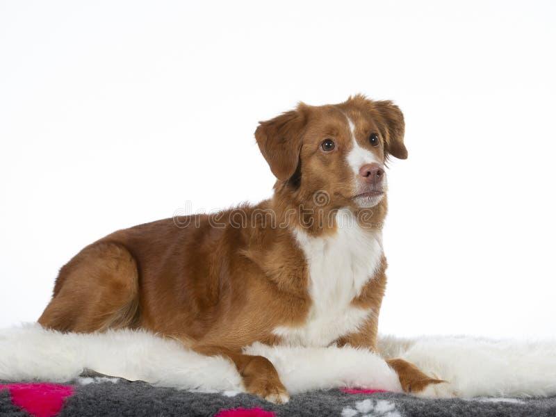 Πορτρέτο σκυλιών Toller σε ένα στούντιο με το άσπρο υπόβαθρο στοκ φωτογραφία με δικαίωμα ελεύθερης χρήσης