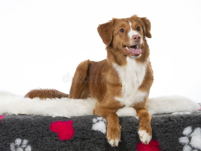 Πορτρέτο σκυλιών Toller σε ένα στούντιο με το άσπρο υπόβαθρο στοκ εικόνα