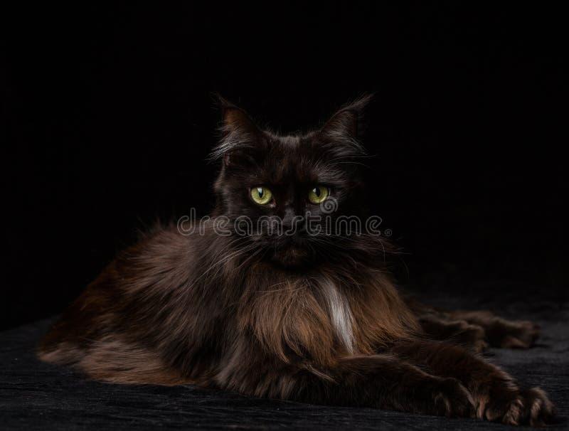 Πορτρέτο στούντιο μιας όμορφης γάτας του Μαίην Coon στοκ εικόνες