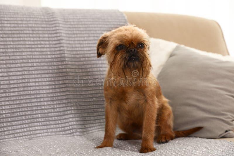 Πορτρέτο στούντιο της συνεδρίασης σκυλιών των Βρυξελλών Griffon στον καναπέ στοκ φωτογραφία