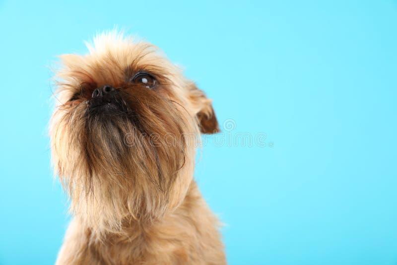 Πορτρέτο στούντιο του αστείου σκυλιού των Βρυξελλών Griffon r στοκ φωτογραφία