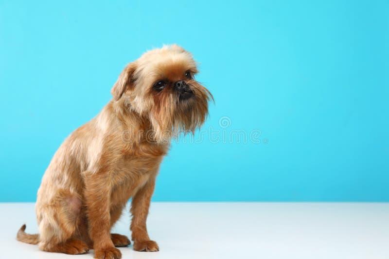 Πορτρέτο στούντιο του αστείου σκυλιού των Βρυξελλών Griffon r στοκ φωτογραφίες με δικαίωμα ελεύθερης χρήσης