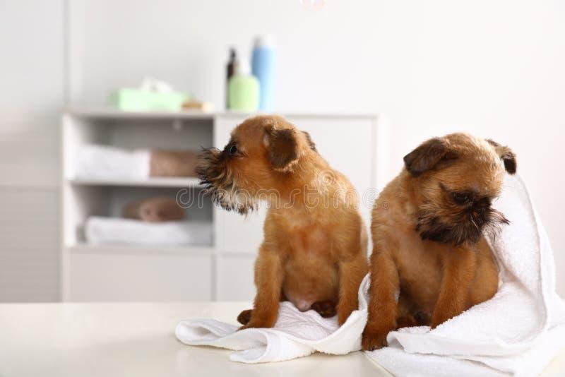 Πορτρέτο στούντιο των αστείων σκυλιών των Βρυξελλών Griffon με την πετσέτα στοκ εικόνες