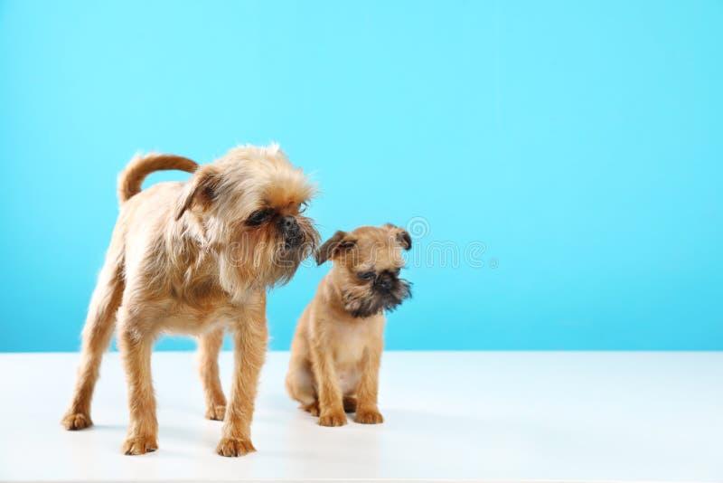 Πορτρέτο στούντιο των αστείων σκυλιών των Βρυξελλών Griffon r στοκ εικόνα