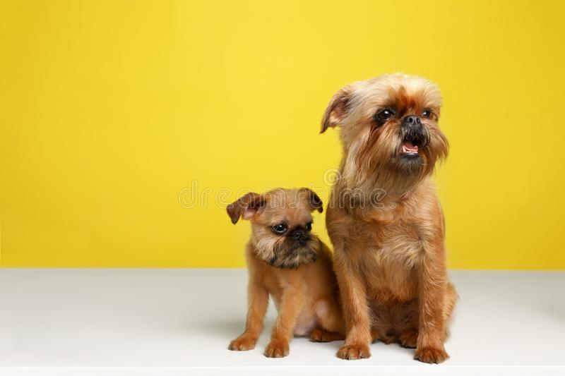 Πορτρέτο στούντιο των αστείων σκυλιών των Βρυξελλών Griffon r στοκ εικόνες με δικαίωμα ελεύθερης χρήσης