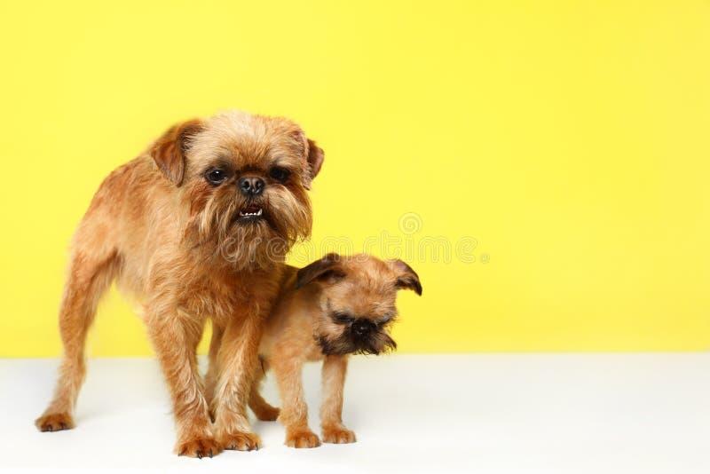Πορτρέτο στούντιο των αστείων σκυλιών των Βρυξελλών Griffon r στοκ εικόνες