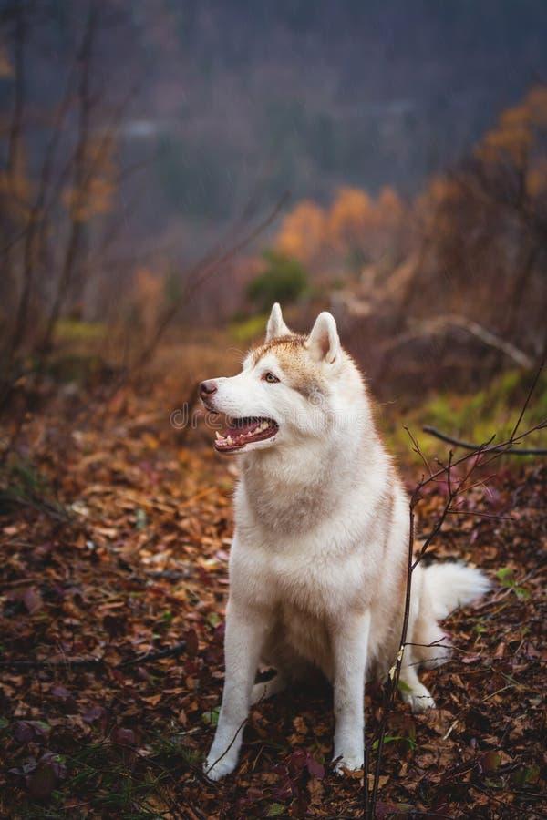 Πορτρέτο σχεδιαγράμματος της χαριτωμένης υγρής σιβηρικής γεροδεμένης συνεδρίασης φυλής σκυλιών προς το τέλος του δάσους φθινοπώρο στοκ εικόνα με δικαίωμα ελεύθερης χρήσης