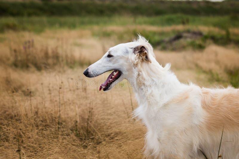 Πορτρέτο σχεδιαγράμματος του όμορφου ρωσικού σκυλιού borzoi στο μαραμένο τομέα χλόης στοκ φωτογραφίες