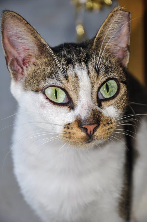 Πορτρέτο της άγριας γάτας με τα μεγάλα πράσινα μάτια και ένα ψαλιδισμένο αυτί στοκ φωτογραφία