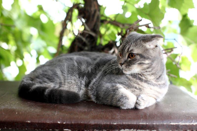 Πορτρέτο της βρετανικής γάτας Shorthair που βρίσκεται σε ένα υπόβαθρο των  στοκ εικόνες με δικαίωμα ελεύθερης χρήσης