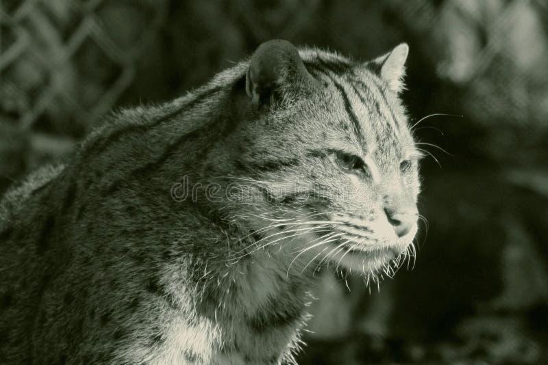Πορτρέτο της γάτας αλιείας, viverrinus Prionailurus στοκ φωτογραφία